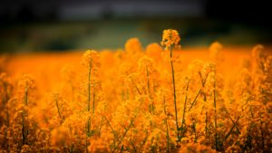 yellow-flower-field